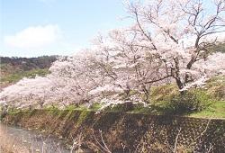 山中渓の桜