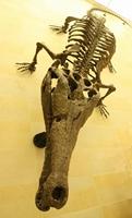 大阪大学総合学術博物館マチカネワニ骨格模型